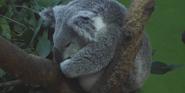 Riverbanks Zoo Koala