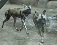 San Antonio Zoo Dogs