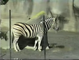 San Diego Zoo Burchelle's Zebra