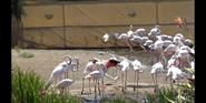 San Diego Zoo Safari Park Flamingos