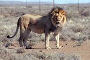 Transvaal Lion (V2)