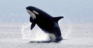 Wild killer whale