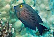 Yellow eyed surgeonfish.jpg