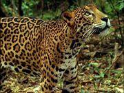 907069910-jaguar-animal-tropical-rainforest-central-america-predator.jpg