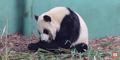 Calgary Zoo Panda