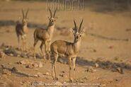 Chinkara herd