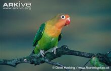 Fischers-lovebird.jpg