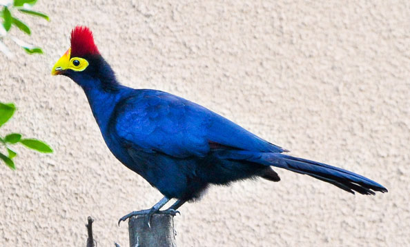 Ross' Turaco