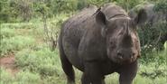 KNP Black Rhinoceros