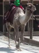Kalahari Resorts Camel