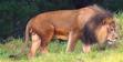 Okland Zoo Lion