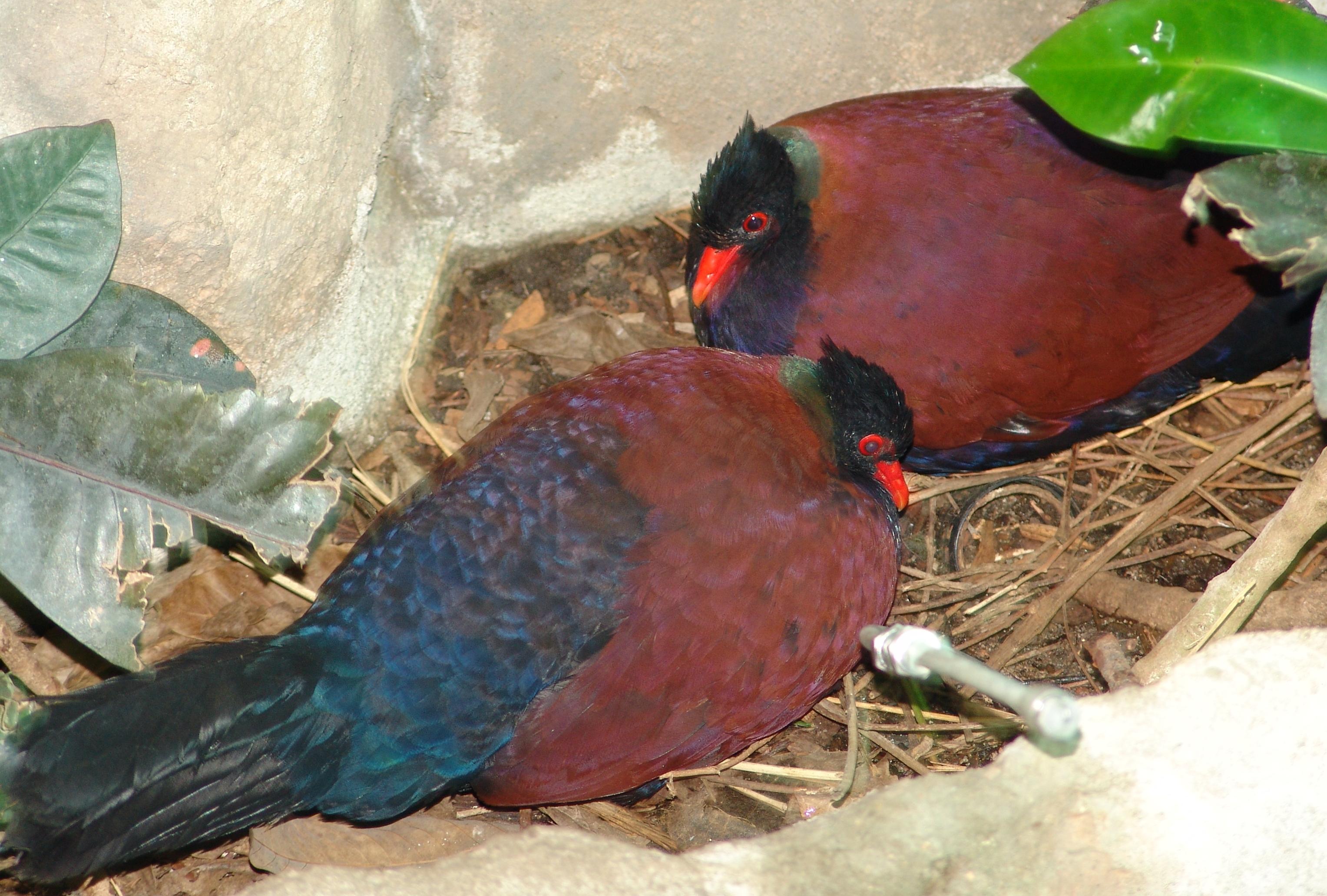 Pheasant Pigeon