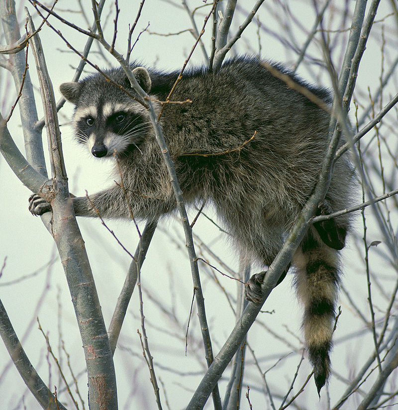 Eastern Raccoon