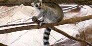 Riverbanks Zoo Lemur