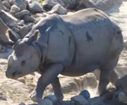 San Diego Zoo Safari Park Indian Rhino