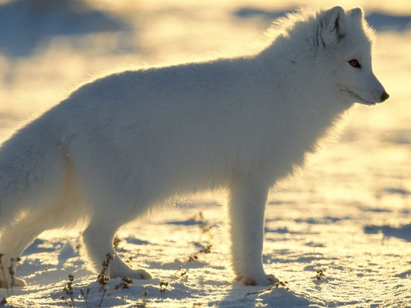 Tails the Arctic Fox