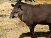 Tapir, Brazilian.jpg