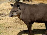 Tapir, Brazilian