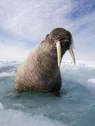 Walrus (V3)