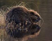 Beaver, Eurasian