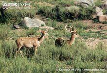 Burmese-brow-antlered-deer-stag-and-hind.jpg