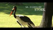 Cincinnati Zoo Saddle-Billed Stork