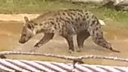 Columbus Zoo Hyena (V2)