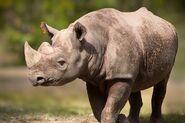 East African black rhinoceros