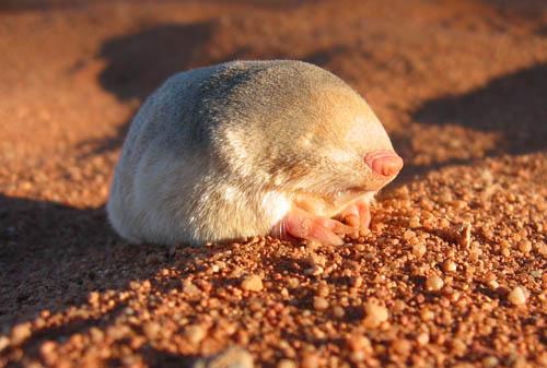 Golden Mole