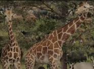 Evan Almighty Giraffes