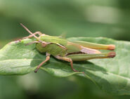 Grasshopper, Common Green