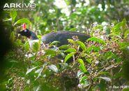 Horned-guan-in-tree