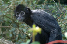 KG-Black-Spider-Monkey-1.jpg