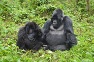 Male and Female Mountain Gorillas
