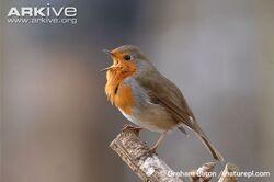 Robin-singing-on-branch.jpg