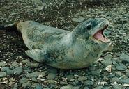 Seal, Leopard