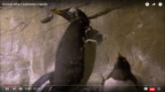 The Gentoo Penguin Can Swim the Fastest
