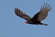 Vulture, Turkey (V2)