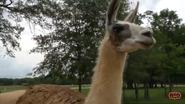 Alabama Safari Park Llama