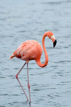 American Flamingo.jpg