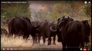 Animal Atlas Buffalos