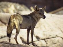 Arabwolf4a.jpg