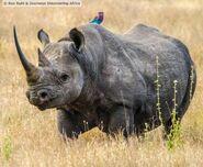 Black Rhinoceros (V2)