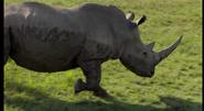 CITIRWN Rhino
