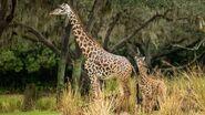 DAK Masai Giraffe