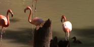 Dallas Zoo Caribian Greater Flamingo