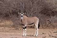 East African Oryx
