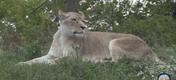 Fort Wayne Children's Zoo Lioness