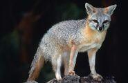 Fox, Grey (V2)
