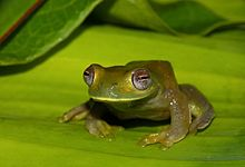 Palmer's Tree Frog